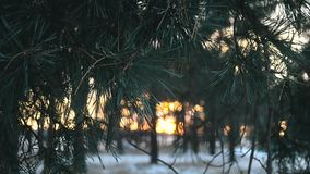 Pine branch close-up wind shakes, beautiful sunset behind trees, pine forest winter stock footage