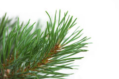 Pine branch closeup. Pine brunch closeup isolated on white stock photo