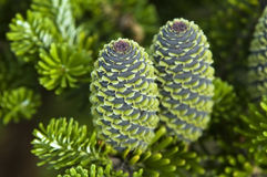 Pine branch with cone. Summer scene. garden Royalty Free Stock Image