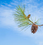 Pine branch with cone Royalty Free Stock Photography