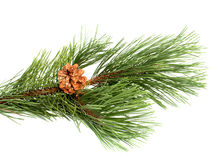Pine branch with the cone Royalty Free Stock Photos