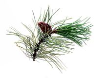 Pine branch with cone Stock Image