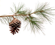 Pine branch with cone Royalty Free Stock Images