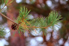 Pine Branch With Cone. Pine branch with cone on the blured background Stock Photo