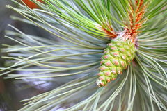 Pine branch with cone Royalty Free Stock Image