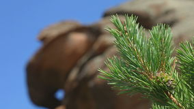 Pine branch with cone close-up stock footage