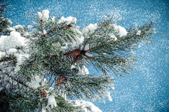 Pine branch with cone. With falling snow Stock Image