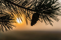 Pine branch with cone illuminated by the sunbeams of sunset. Pine branch with cone illuminated by the rays of sunset Stock Image