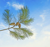 Pine branch with cone Stock Photos