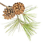 Pine branch with cones Stock Images