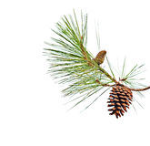 Pine branch with cones Royalty Free Stock Photography