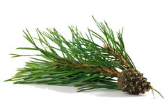 Pine branch with cones Royalty Free Stock Images
