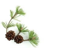Pine branch and cones. On white background - isolated on white background Stock Photos