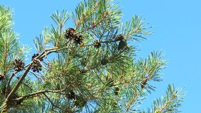 Pine branch with cones. Against the blue sky stock video footage
