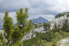 Pine branch with cones against the Italian Alps Royalty Free Stock Image