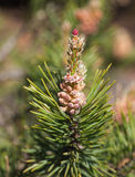 Pine branch with cones close up Stock Images