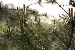 Pine branch with cones Royalty Free Stock Image