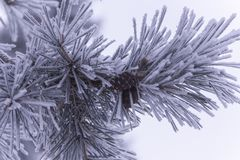 Pine branch with cones covered with frost royalty free stock photography