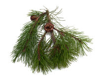 Pine branch and cones Stock Photos