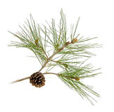 Pine branch with cones Royalty Free Stock Photos