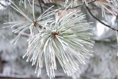 Pine branch with cones nestled in snow Royalty Free Stock Photography