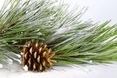 Pine branch with cones in the snow. On white Royalty Free Stock Image