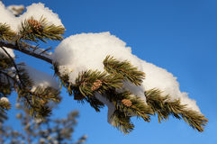 Pine branch with cones in the snow Stock Images