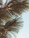 Pine branch with cones in the snow in winter on background of blue sky Royalty Free Stock Images