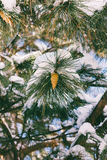 Pine branch with cones in the snow in the winter Stock Photo