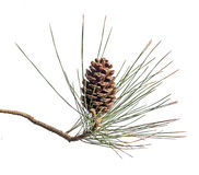 Pine branch with cones on white background Stock Images
