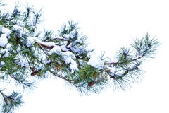 Pine branch with cones on a white background Royalty Free Stock Images