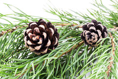 Pine branch with cones  on white background Stock Photos