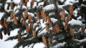 Pine branch with cones in winter stock video footage