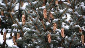 Pine branch with cones in winter stock video