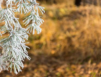 Pine branch covered with frost. Royalty Free Stock Photography