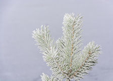 Pine branch covered with frost. Stock Photography