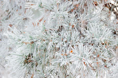 Pine branch covered with hoarfrost closeup Royalty Free Stock Photography