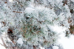 Pine branch covered with hoarfrost closeup Royalty Free Stock Photo