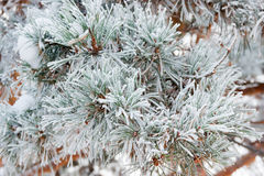 Pine branch covered with hoarfrost closeup Stock Photo