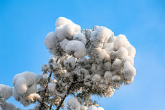 Pine branch covered by the snow against blue sky. Winter of Beijing Royalty Free Stock Images