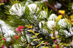 Pine branch covered with snow blanket. Bright green needles, red berries, bright green leaves and white snow. Beautiful winter picture Royalty Free Stock Photos