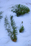 Pine branch covered with snow blanket. Bright green needles and the white snow. Beautiful winter picture Stock Image