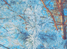 Pine branch covered with snow in blue Stock Photography