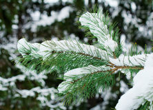 Pine branch, covered with snow. Stock Photos
