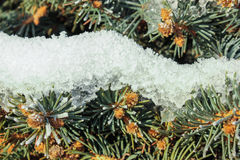 Pine branch covered with snow. Green pine branch covered with snow,  nature background Royalty Free Stock Photos