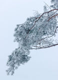 Pine branch covered with snow and hoarfrost Royalty Free Stock Photo