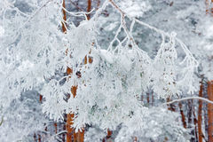 Pine branch covered with snow and hoarfrost Royalty Free Stock Photos