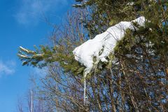 Pine branch covered with snow with icicles. Stock Photo