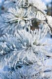 Pine branch covered with snow - shallow focus Royalty Free Stock Images