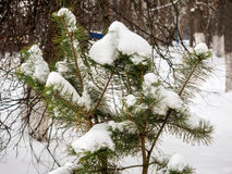 Pine branch covered with snow after a snowfall Stock Photos